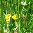 Eine Biene sammelt Nektar