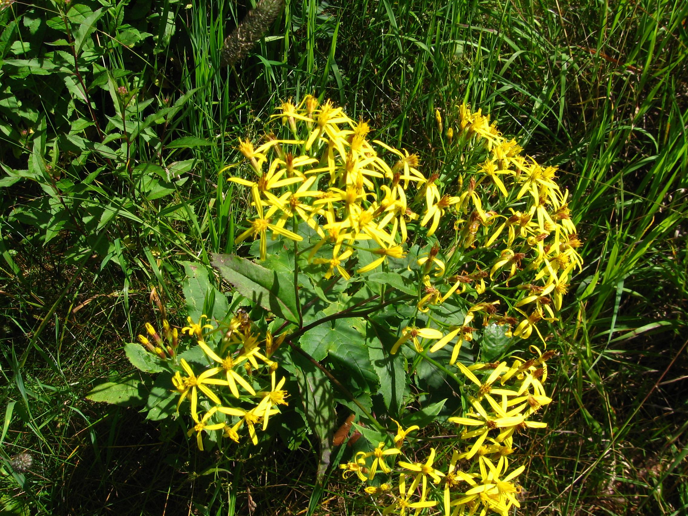 Weiden-Alant, inula salicina