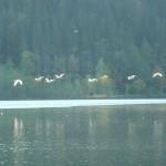 Die Graugänse kehren in der Dämmerung zurück zum See