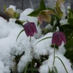Schachbrettblume und Schneerose